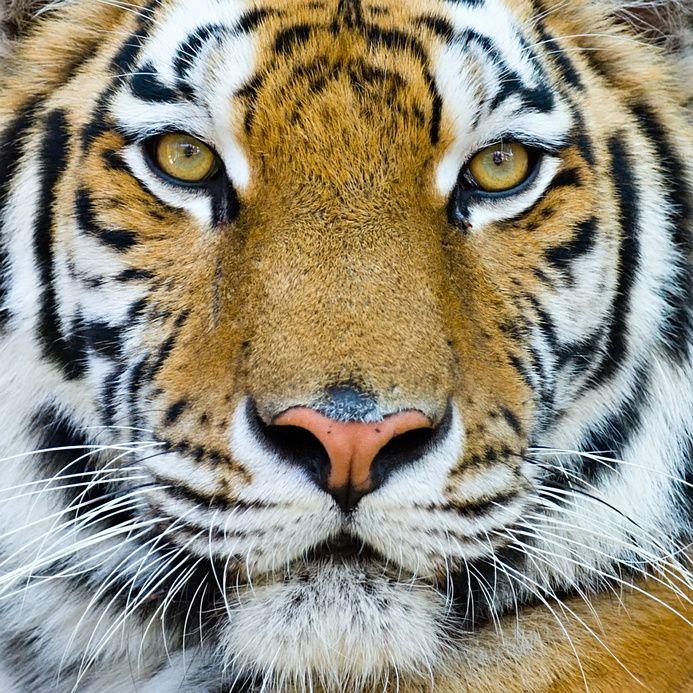 Un-tigre.jpg